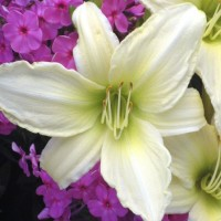 Daylily 'Lime Frost'  Photo courtesy of Walters Gardens