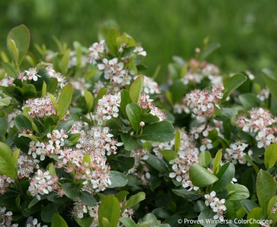 Aronia 'Low Scape Mound' courtesy of Proven Winners
