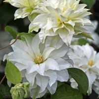 Clematis 'Madame Maria' courtesy of Proven Winners