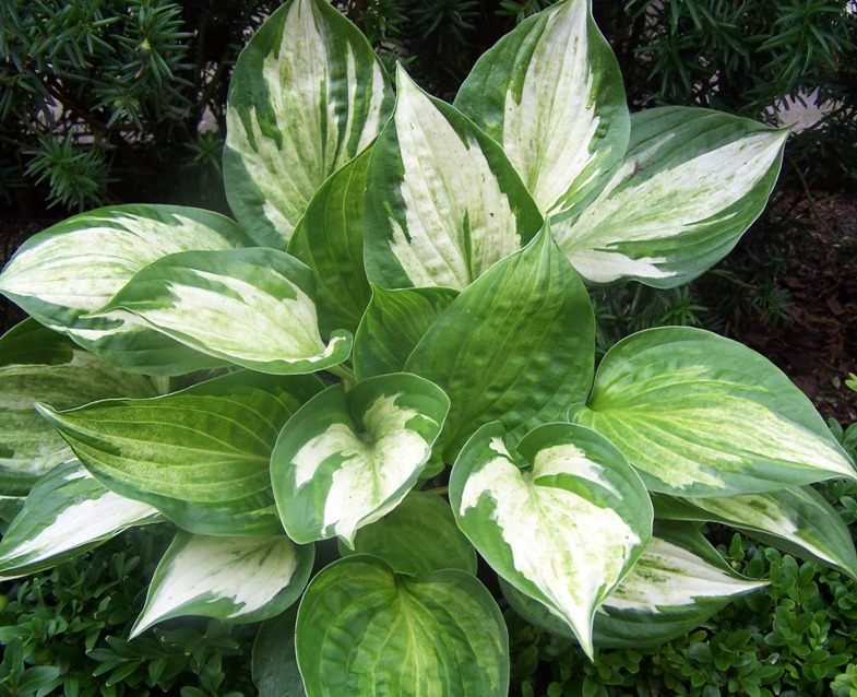 photo of Hosta 'Midnight at the Oasis' courtesy of Naylor Creek Nursery