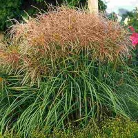 Miscanthus sinensis Huron Sunrise photo courtesy of Walters Gardens
