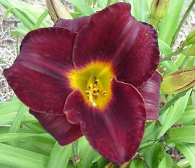 Daylily 'Obsidian'  Photo Whitehouse Perennials Nursery and Display Gardens