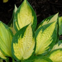 Hosta 'Orange Marmalade' Photo courtesy of Walters Gardens
