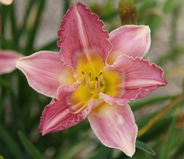 Daylily 'Orchid Butterfly'  Photo Whitehouse Perennials Nursery and Display Gardens