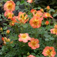 Rosa 'Oso Easy Paprika' photo courtesy of Proven Winners