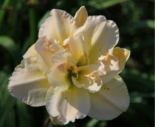 Daylily 'Peggy Jeffcoat' photo Whitehouse Perennials Nursery and Display Gardens