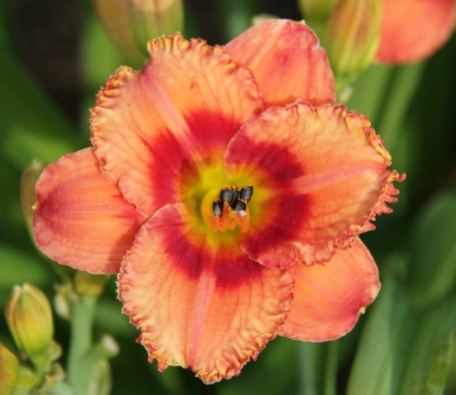 Daylily 'Penny Serenade' Photo Whitehouse Perennials Nursery and Display Gardens