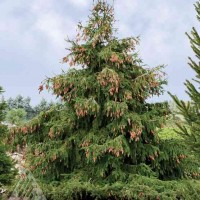 Picea abies 'Acrocona' photo courtesy of Iseli Nursery