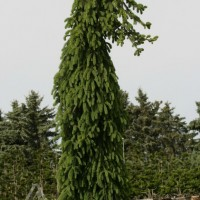 Picea bies Frohburg courtesy of Iseli Nursery