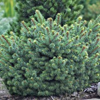 Picea abies 'Lanham's Beehive' photo courtesy of Iseli Nursery