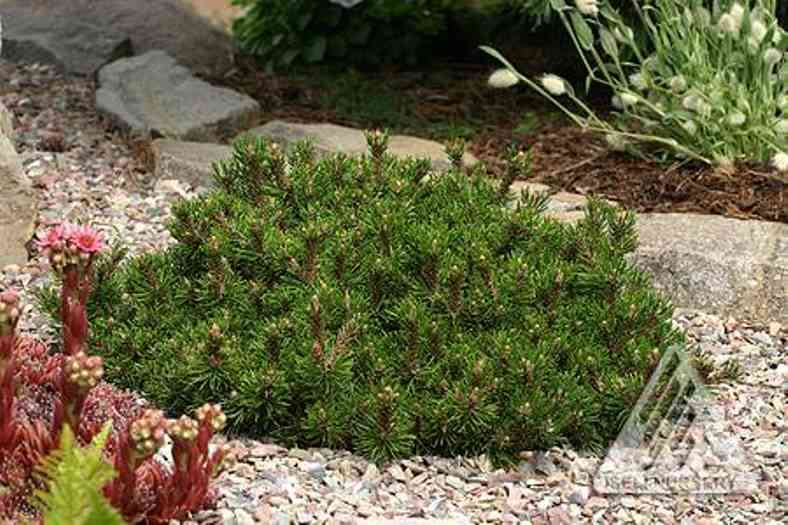 Pinus mugo 'Short Needle' photo courtesy of Iseli Nursery