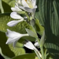 Hosta 'Princess Anastasia' photo courtesy of Walters Gardens