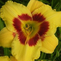 Daylily 'Purple Tempest' photo Whitehouse Perennials Nursery and Display Gardens