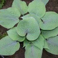 Hosta 'Purple Haze' photo courtesy of Naylor Creek Nursery