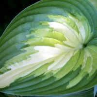 Hosta 'Rare Breed' Photo courtesy of Walters Gardens