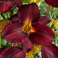 Daylily 'Raspberry Suede'   Photo courtesy of Walters Gardens