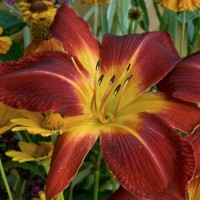 Daylily 'Ruby Spider'  photo courtesy of Walters Gardens