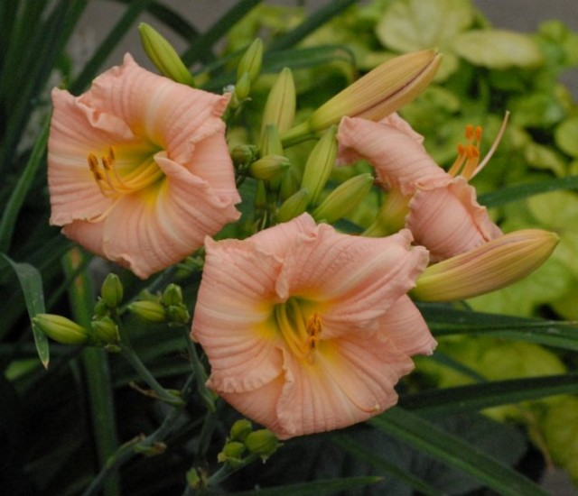 Daylily 'Shy Maiden'  Photo courtesy of Walters Gardens