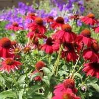 photo of Echinacea Sombrero 'Salsa Red' courtesy of Suzanne Patryl
