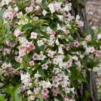 Weigela 'Sonic Bloom Pearl' Photo courtesy of Proven Winners