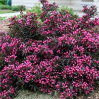 Weigela 'Spilled Wine' Photo courtesy of Proven Winners