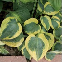 Hosta 'Tootie May' photo courtesy of Q and Z Nursery