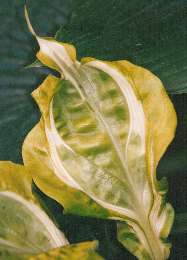 Hosta 'Totally Awesome' Photo courtesy of Mike Koller