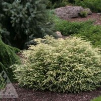 Tsuga canadensis 'Moon Frost' photo courtesy of Iseli Nursery