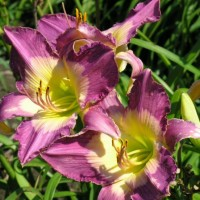 Daylily 'Turkish Night' photo Suzanne Patry