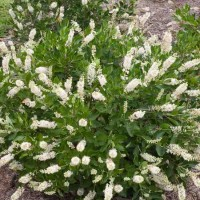 Clethra 'Vanilla Spice' Photo courtesy of Proven Winners