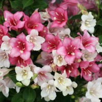 Photo of Weigela 'Czechmark Trilogy' courtesy of Spring Meadow Nursery