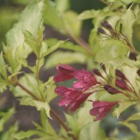 Weigela 'Ghost' photo courtesy of Proven Winners