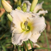 Daylily 'White Perfection' photo Suzanne Patry, Whitehouse Perennials