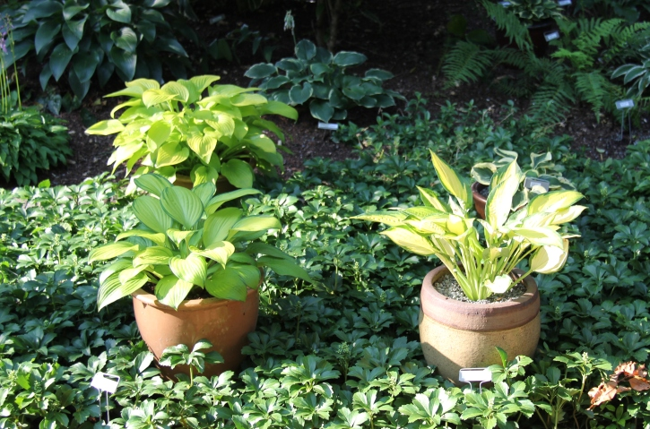 groundcover and hosta pots