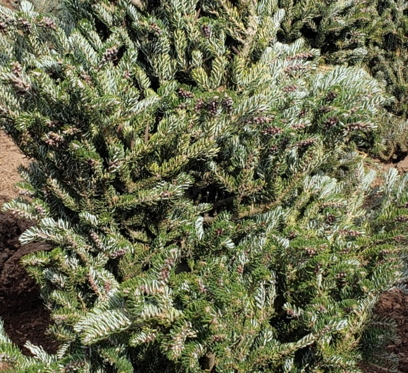 Abies koreana 'Silver Star' photo courtesy of Rob Long, Iseli Nursery