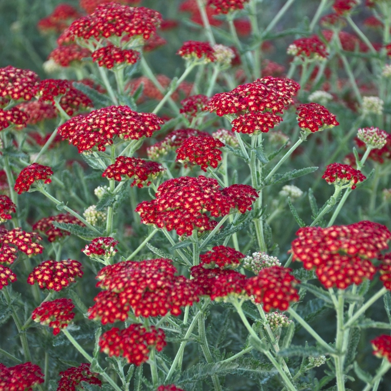 Achillea 'Sassy Summer Sangria' photo courtesy of Walters Gardens