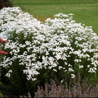Achillea 'Peter Cottontail' photo courtesy fo Walters Gardens