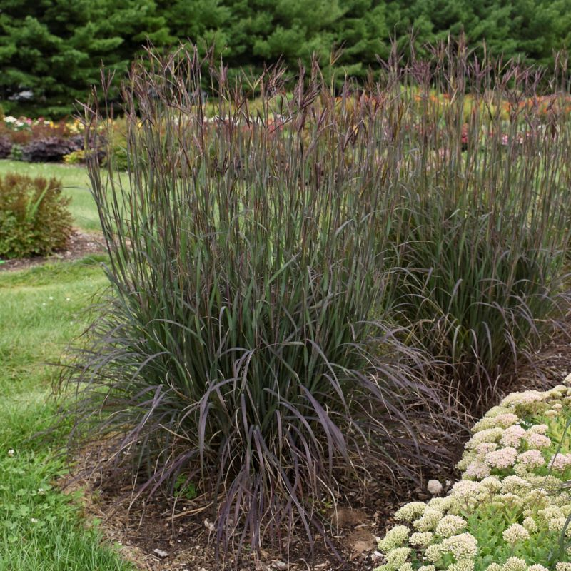 Andropogon gerardii 'Blackhawks' photo courtesy of Walters Gardens