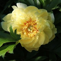 Peony 'Bartzella' photo courtesy of Walters Gardens