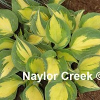Hosta 'Beach Boy' photo courtesy of Naylor Creek Nursery