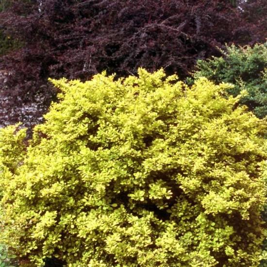 Berberis 'Aurea Nana' photo courtesy of Spring Meadow Nursery