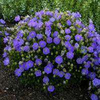 Campanula carpatica Rapido Blue