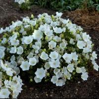 Campanula 'Rapido White' photo courtesy of Walters Gardens