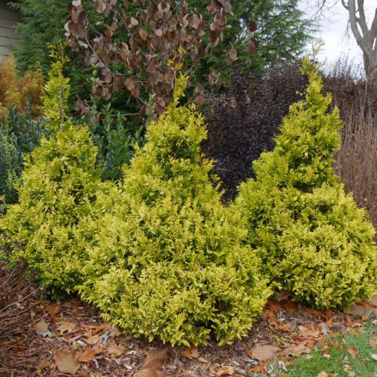 Chamaecyparis 'Soft Serve Gold' photo courtesy of Spring Meadow Nursery
