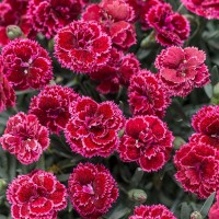 Dianthus 'Black Cherry Frost' photo courtesy of Walters Gardens