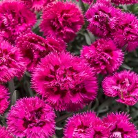 Dianthus 'Fruit Punch' photo courtesy of Walters Gardens