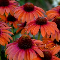 Echinacea 'Orange You Awesome' photo courtesy of Walters gardens