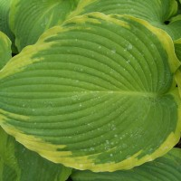 photo of Hosta 'Eclipse' courtesy of Naylor Creek Nursery