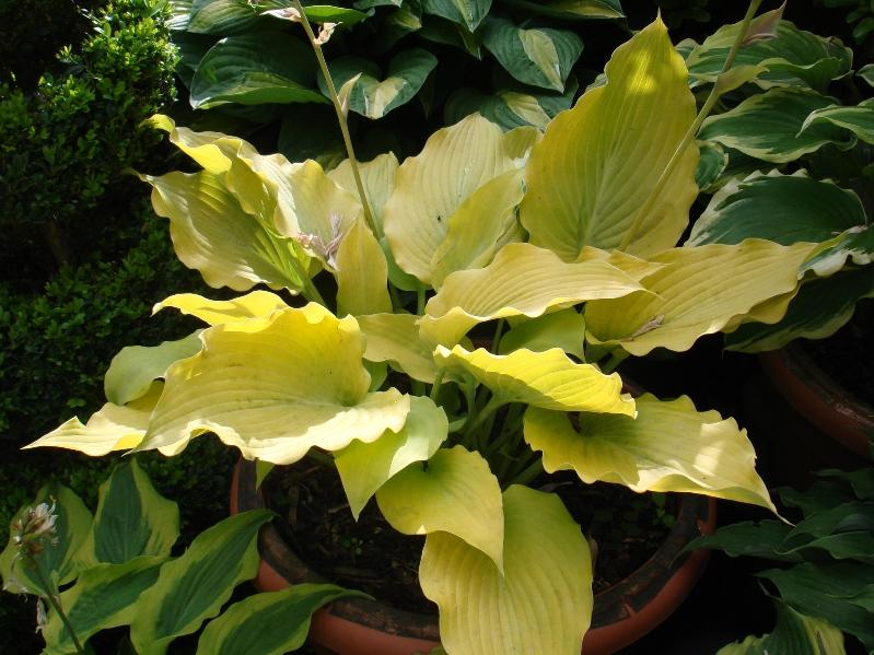 photo of Hosta 'Flemish Gold' courtesy of Naylor Creek Nursery