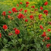 'Geum Blazing Sunset' photo courtesy of Walters Gardens